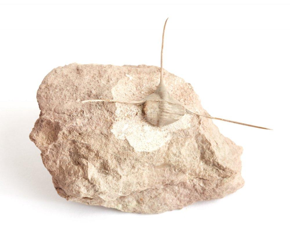 Трилобит Ampyx nasutus