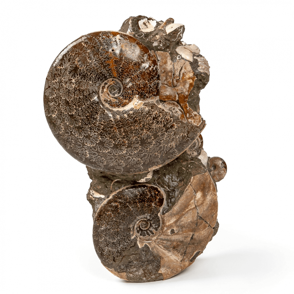 Аммонит Cleoniceras sp. на породе