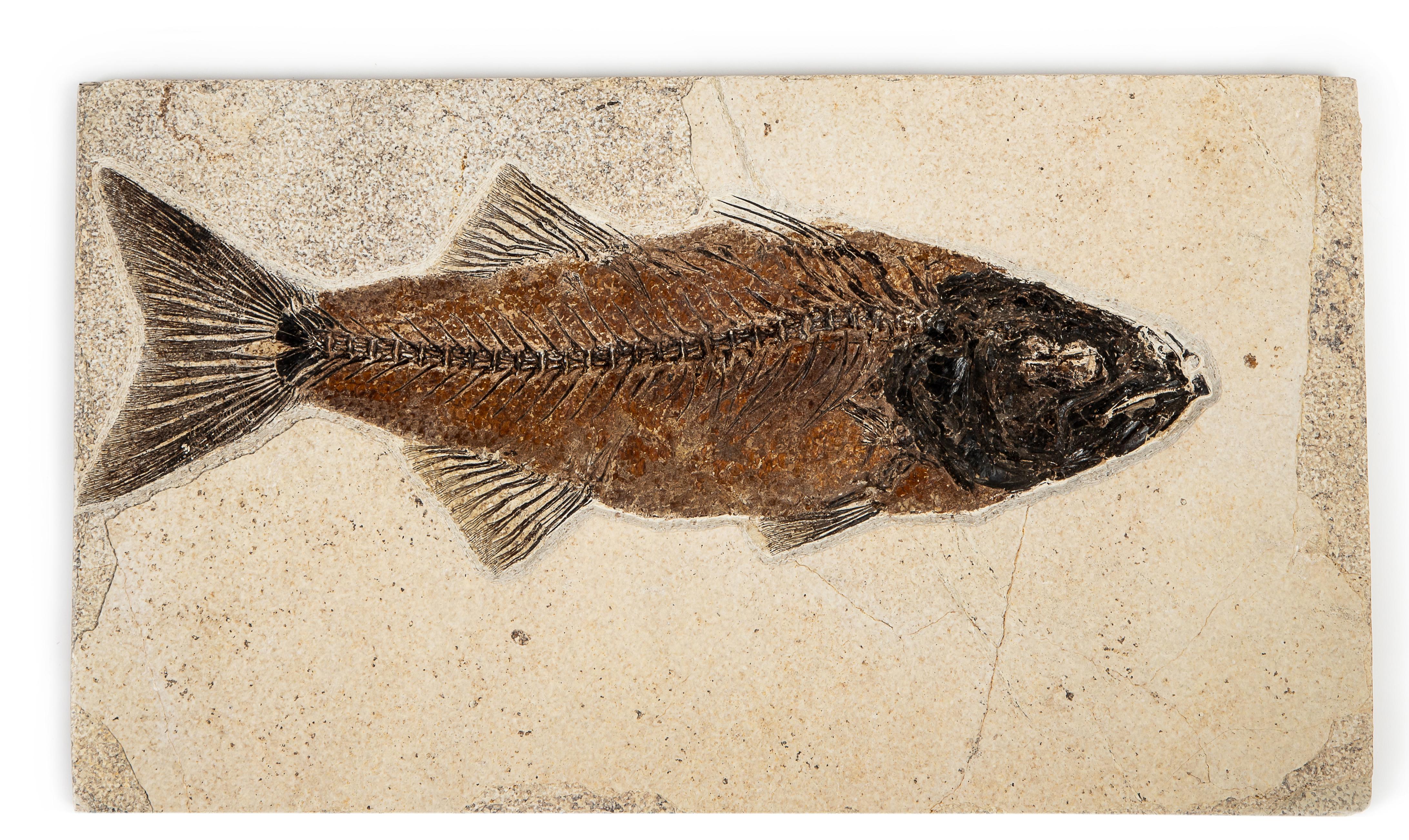 Рыба Mioplosus sp.