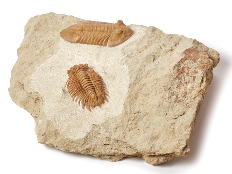 Трилобиты Hoplolichas plautini и Asaphus bottnicus