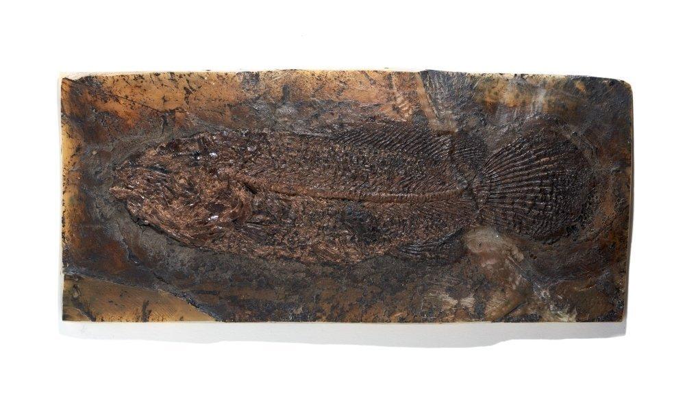 Рыба Cyclurus kehreri