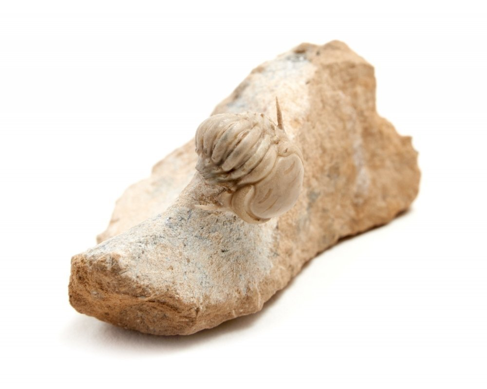 Трилобит Remopleurides elongatus