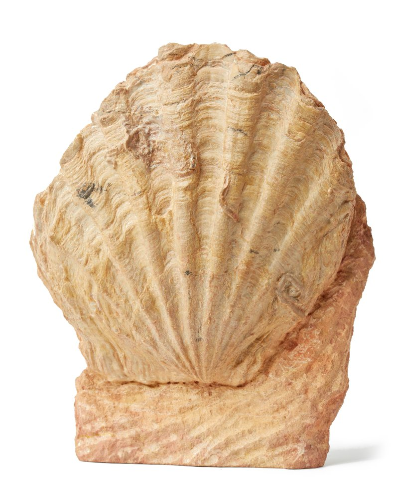 Двустворчатый моллюск Pecten sp.