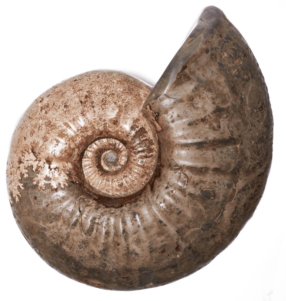 Аммонит Acantohoplites sp.
