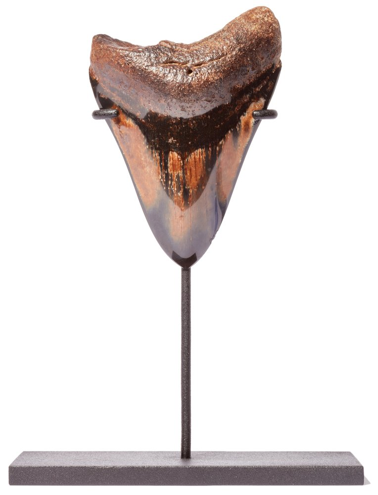 Зуб мегалодона 11,2 см на подставке