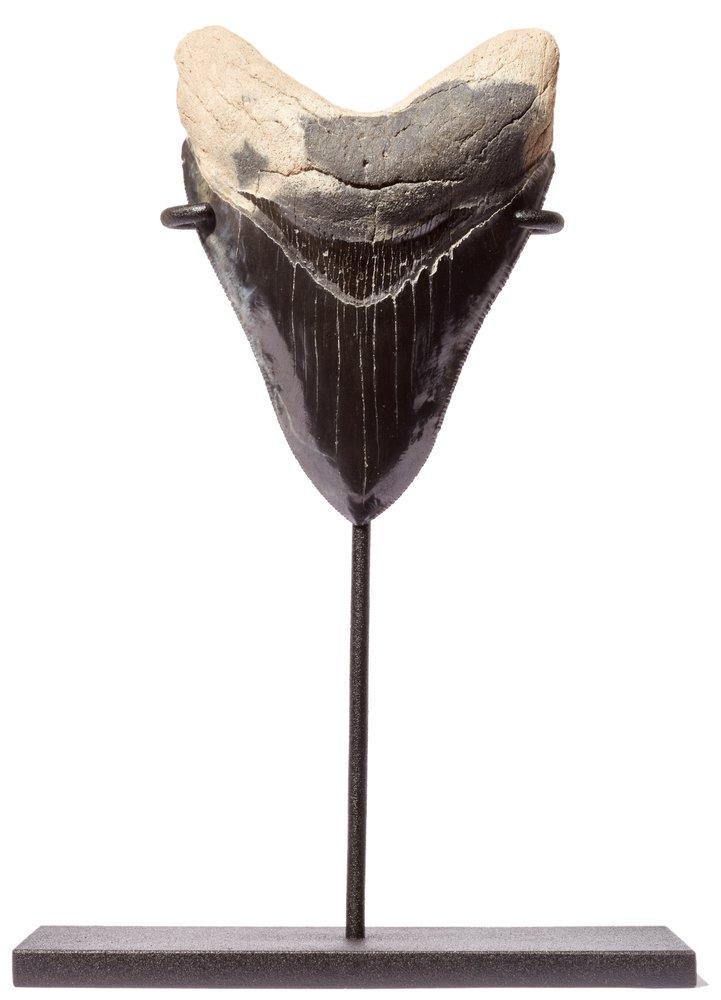 Зуб мегалодона 11,2 см музейного качества на подставке