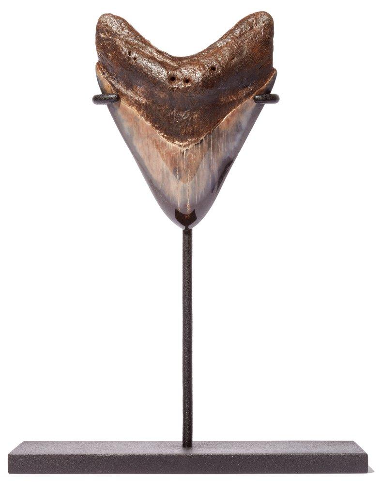 Зуб мегалодона 9,5 см на подставке