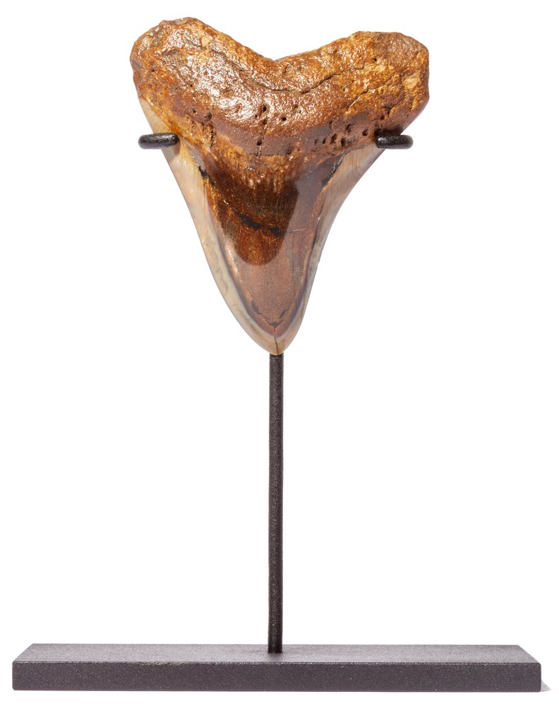 Зуб мегалодона 9,8 см на подставке