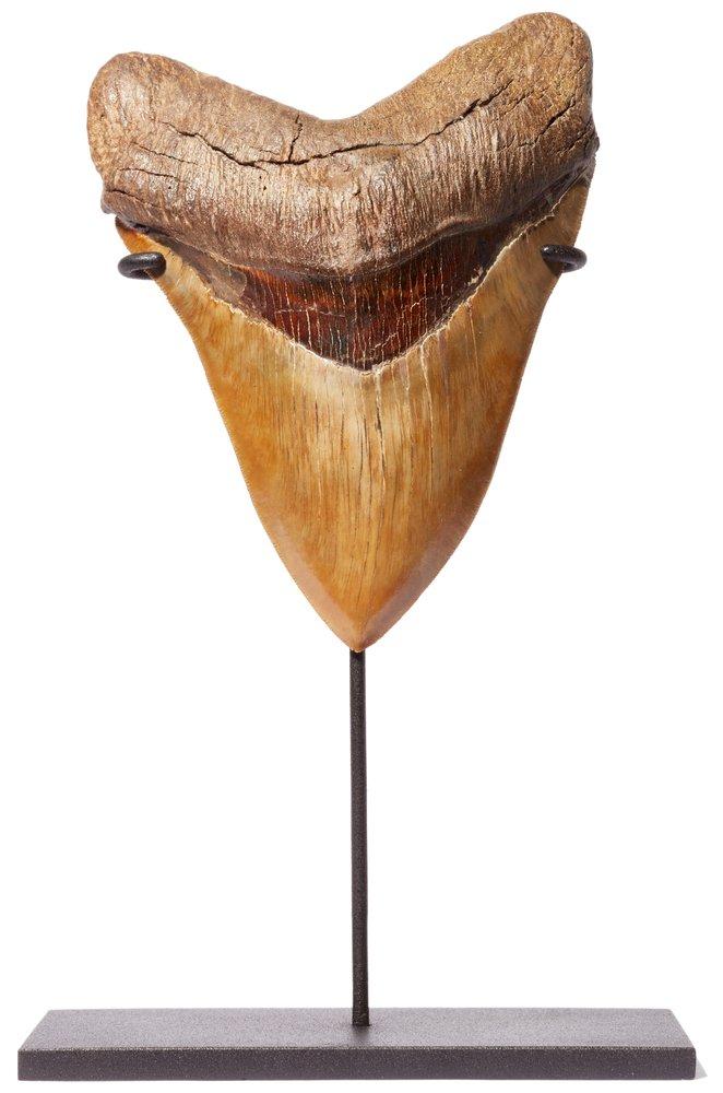 Зуб мегалодона 16,2 музейного качества на подставке