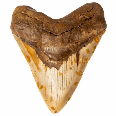 Зуб мегалодона 12,5 см