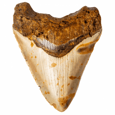 Зуб мегалодона 11,5 см