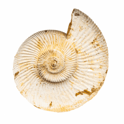 Аммонит Perisphinctes sp.