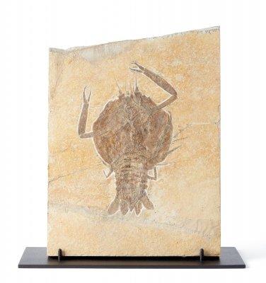 Десятиногое ракообразное Eryon sp. на подставке