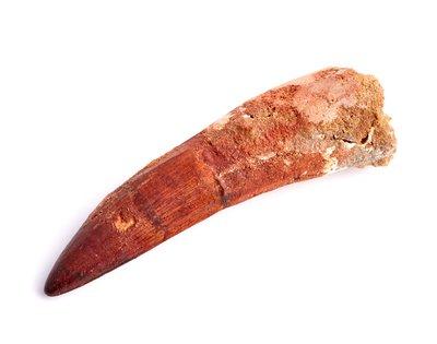 Зуб спинозавра