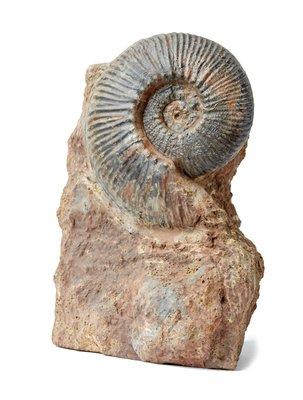 Аммонит Hammatoceras sp.