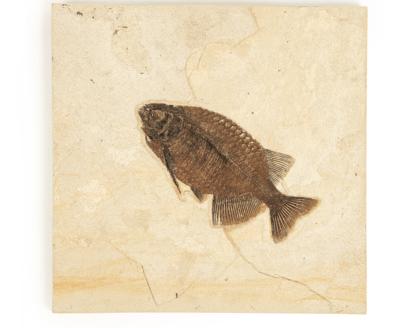 Рыба Phareodus sp.
