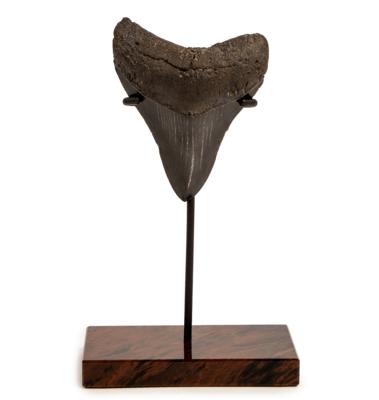 Зуб мегалодона 10 см на обсидиановой подставке