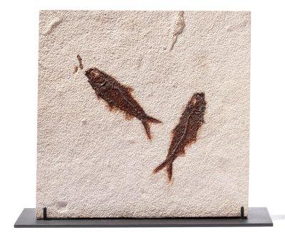 Рыбы Knightia sp. на подставке