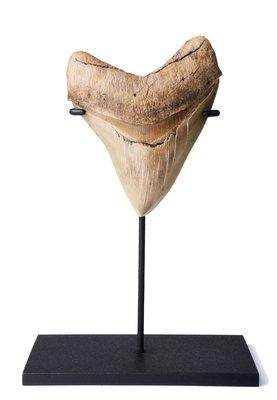 Зуб мегалодона 11 см коллекционного качества на подставке