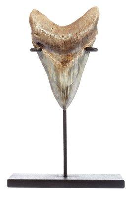 Зуб мегалодона 10 см на подставке коллекционного качества