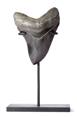 Зуб мегалодона 9,6 см на подставке коллекционного качества