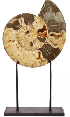 Аммонит Cleoniceras sp.на подставке