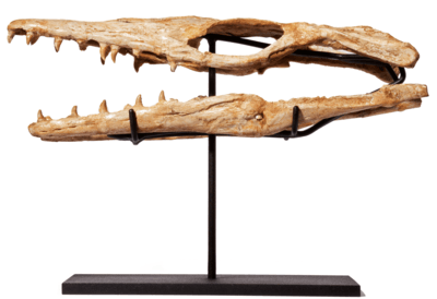 Череп Halisaurus arambourgi
