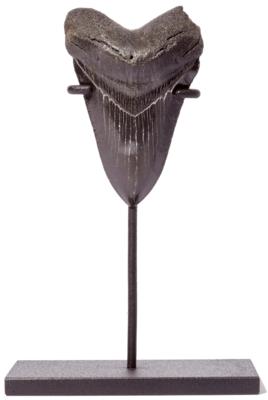 Зуб мегалодона 9,2 см на подставке