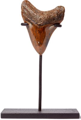 Зуб мегалодона 8,4 см на подставке