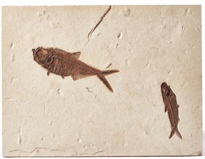 Рыбы Diplomystus sp. и Knightia sp.