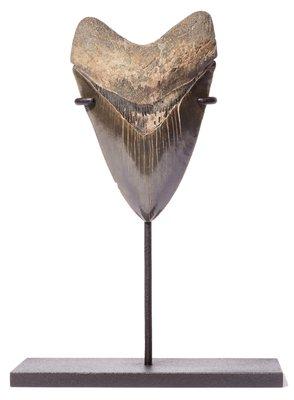 Зуб мегалодона 11,3 см коллекционного качества на подставке