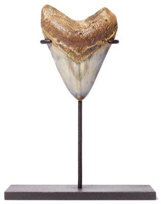 Зуб мегалодона 9,9 см на подставке