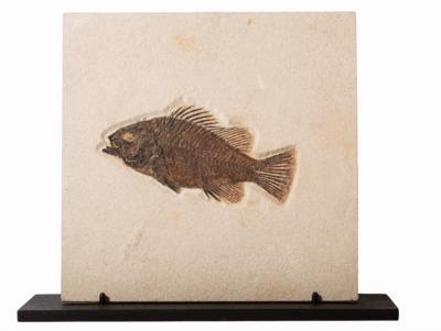 Рыба Priscacara sp. на подставке