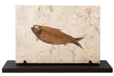 Рыба Knightia sp. на подставке
