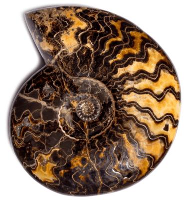 Аммонит Craspedodiscus discofalcatus