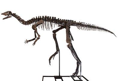Скелет динозавра Dryosaurus sp.