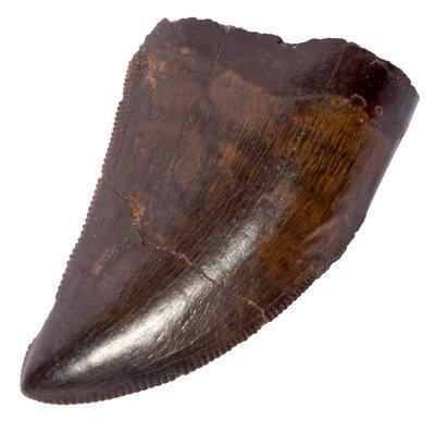 Зуб тираннозавра