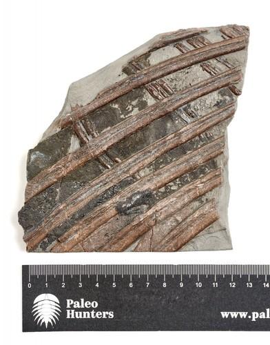 Ребра ихтиозавра