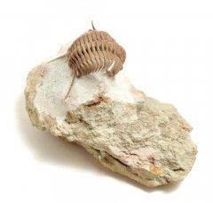 Трилобит Cyrtometopus clavifrons