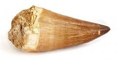 Большой зуб мозазавра