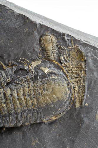 Трилобиты Triarthus eatoni