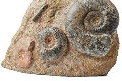 Аммониты Hammatoceras sp.