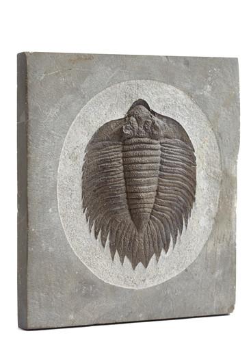 Трилобит Acrtinurus boltoni