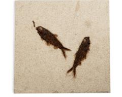 Рыбы Knightia sp.