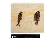 Рыбы Knightia sp. и Priscacara sp.
