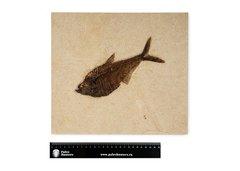 Рыба Diplomystus sp.