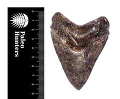 Зуб мегалодона 8,5 см