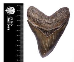 Зуб мегалодона 10,5 см коллекционного качества