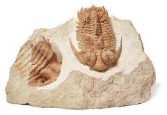 Трилобит Hoplolichas furcifer