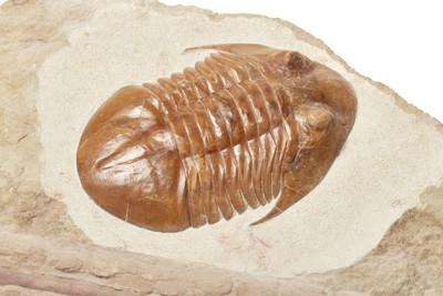 Трилобит Asaphus platiurus и раковина эндоцероса